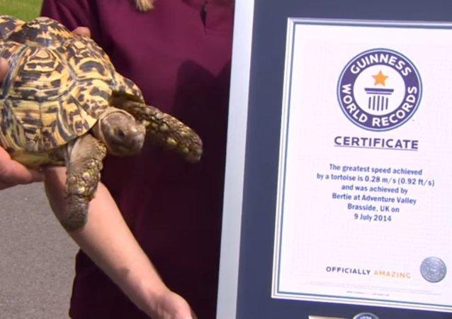 La tortue la plus rapide inscrite au livre Guinness des records