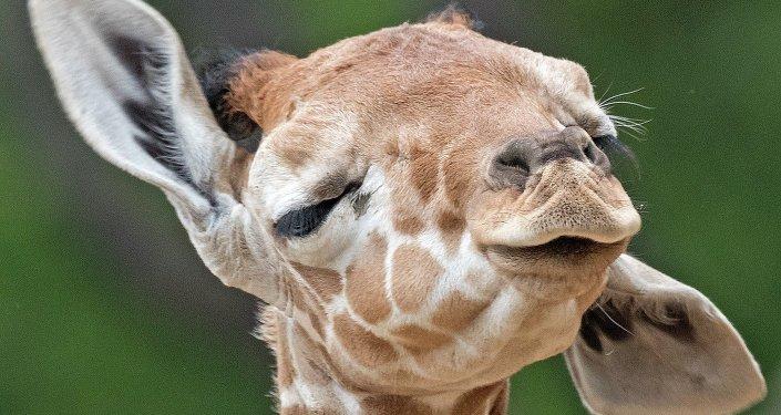 La girafe. Image d'illustration