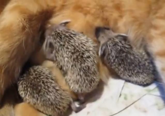 Une maman chat adopte des bébés hérissons