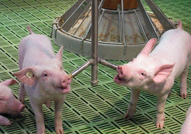 Des cochons