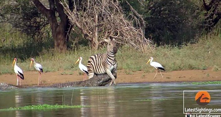 Le zèbre et les deux crocodiles