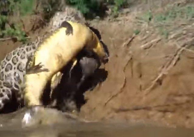 Un jaguar attrape un caïman