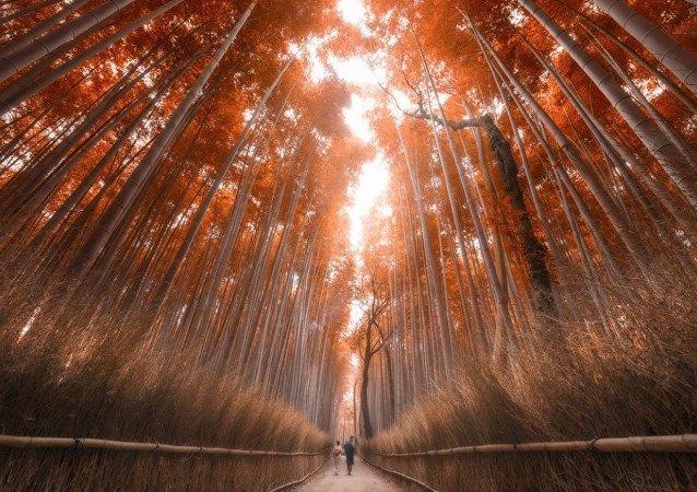 Forêt de bambous de Kyoto