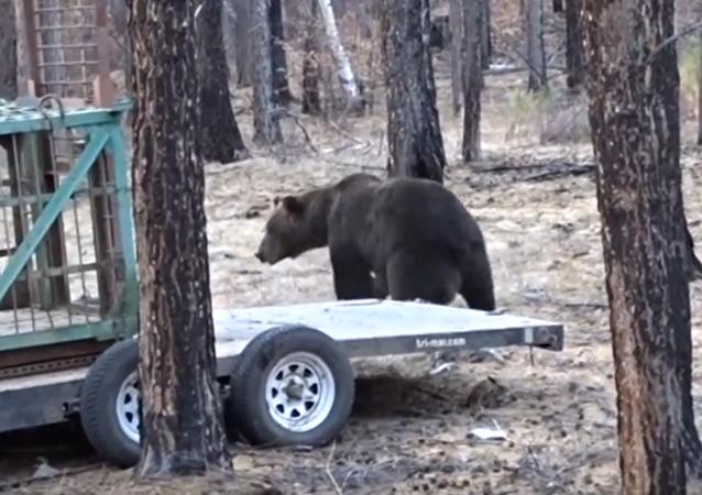 Une ourse relâchée dans la nature