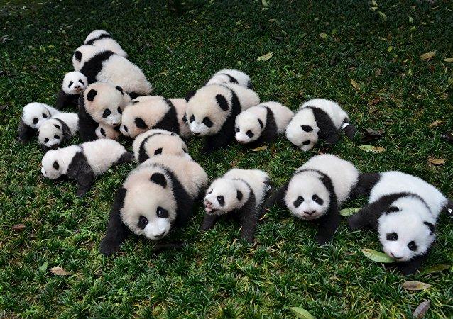 Bébés pandas
