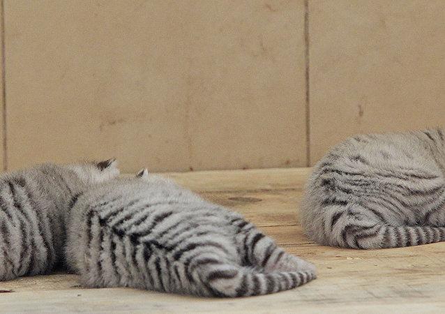 Des jeunes tigres