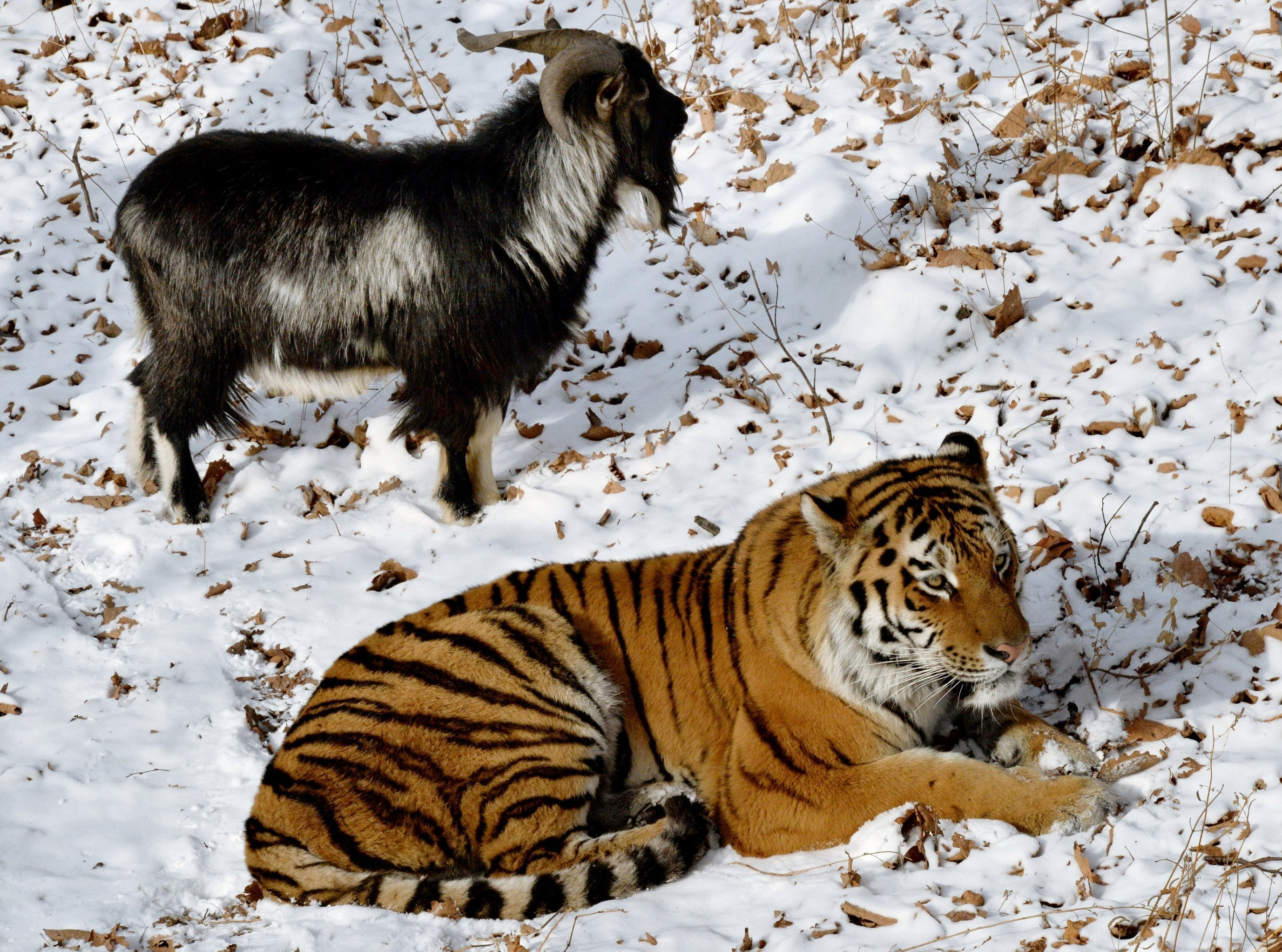 Copains… comme tigre et bouc!