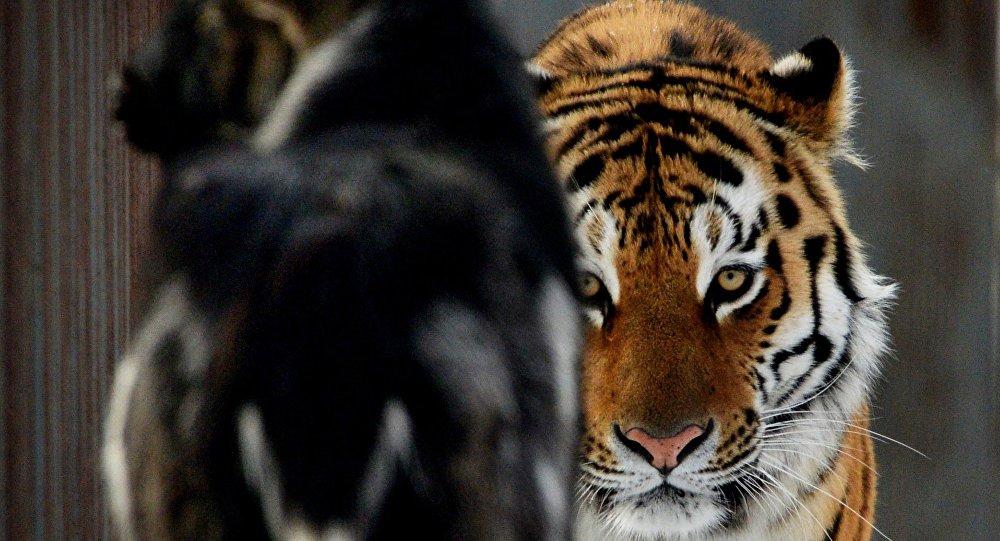 le tigre Amour et le bouc Timour