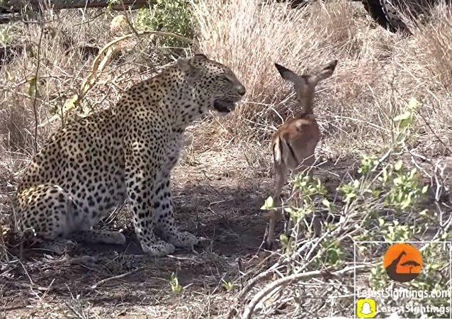 L'amitié entre un leopard et un impala