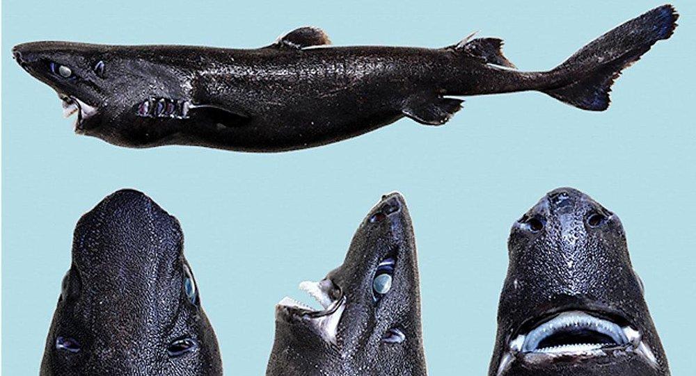 Etmopterus benchleyi