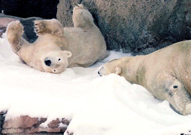 Les ours blancs ont reçu de la neige pour Noël
