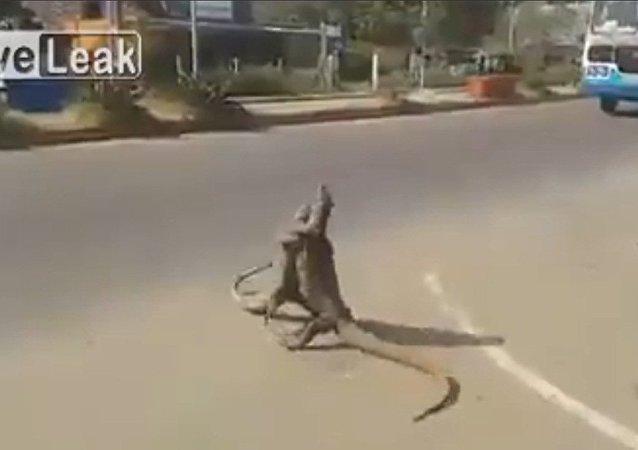 Combat ultime de deux pangolins