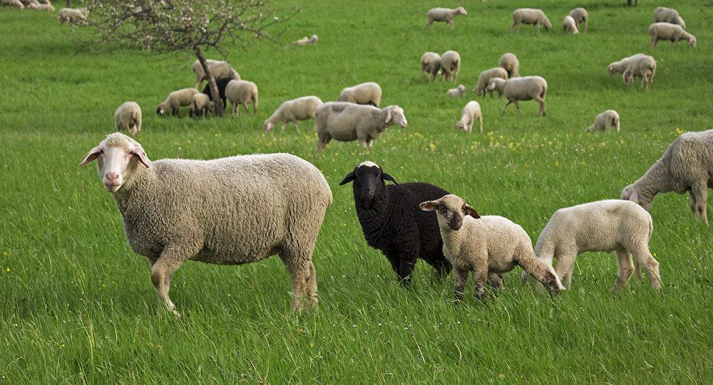 Des milliers de moutons envahissent une ville espagnole - Photos de moutons gratuites ...