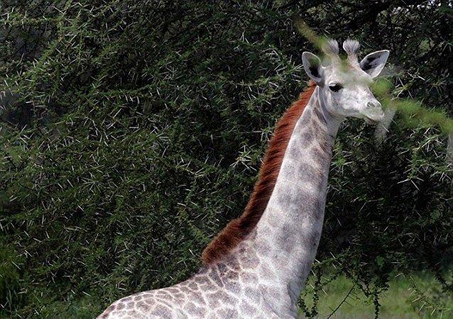 Une girafe blanche