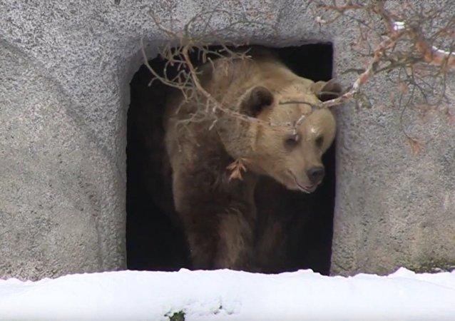 Les ours bruns se réveillent à Helsinki