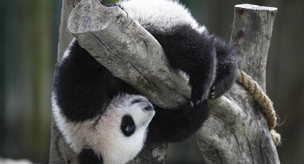 Un panda