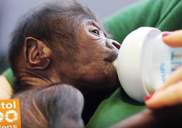 Une bébé gorille née par césarienne au zoo de Bristol