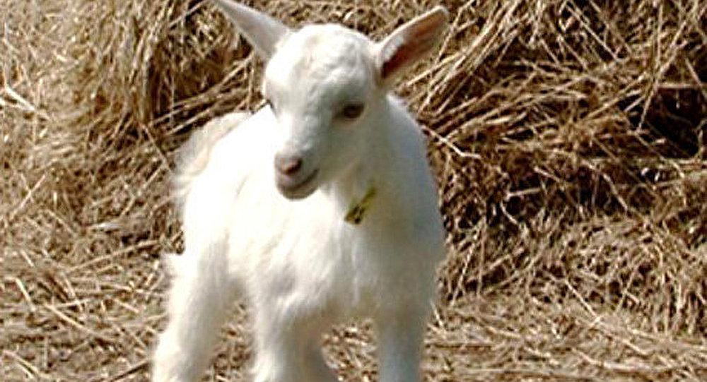 Le gène humain et la chèvre-nourrice