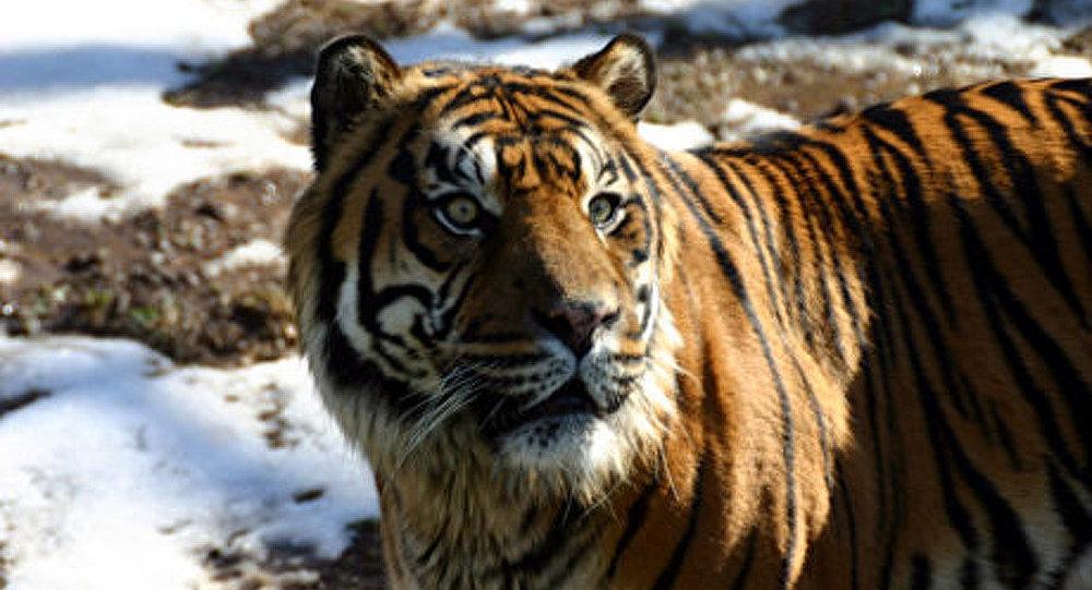 Le trafic de tigre rapporte 5 M USD par an (experts)