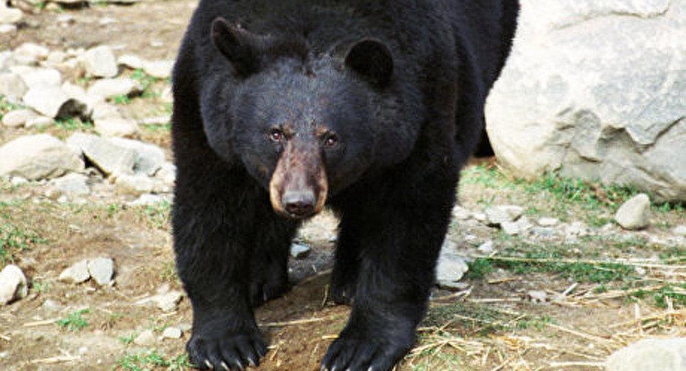 Kamtchatka: les agressions d'ours bruns contre l'homme sont plus fréquentes