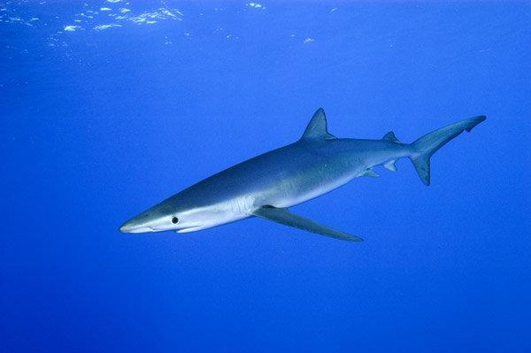 les 10 requins les plus dangereux pour l homme sputnik france. Black Bedroom Furniture Sets. Home Design Ideas
