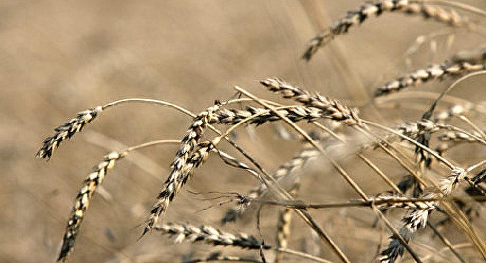 La Russie doublera les exportations de céréales