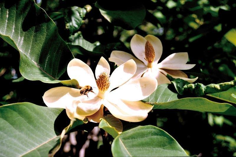 Magnolias en fleur