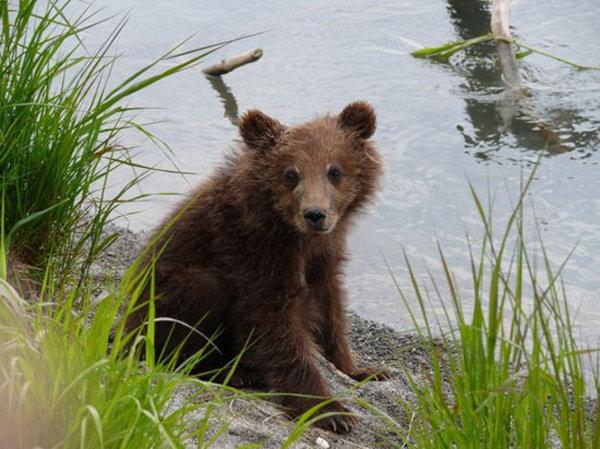 L'ours est le plus grand représentant de la faune de la réserve.