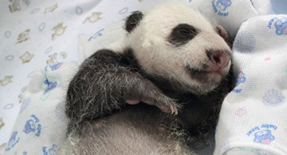 La Chine et le Japon se querellent à cause d'un panda