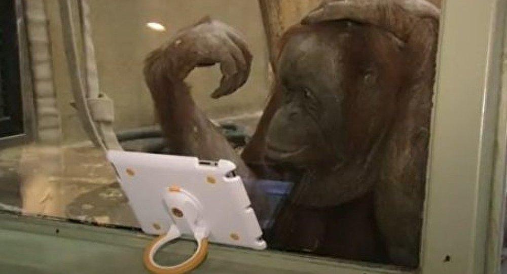 IPad pour les orangs-outans (Vidéo)