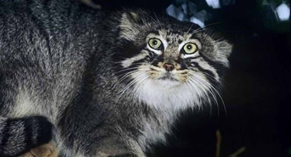 Préserver les chats sibériens