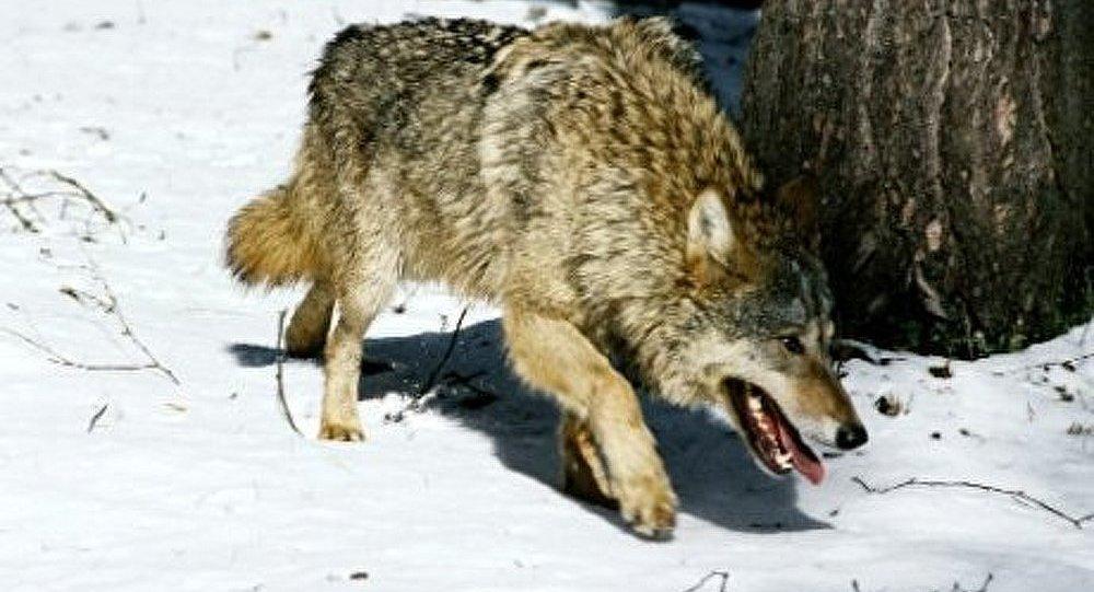 La Suède autorise officiellement l'abattage de 16 loups
