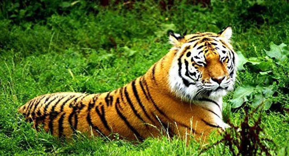 What Cats Look Like Tigers