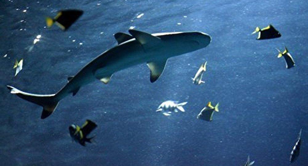 Les requins au bord de l'extinction