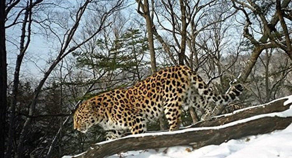 La population des léopards d'Extrême-Orient s'agrandit