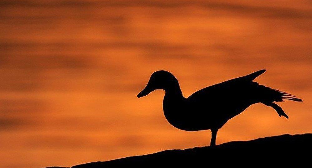 Le génome du canard contre les virus de la grippe aviaire