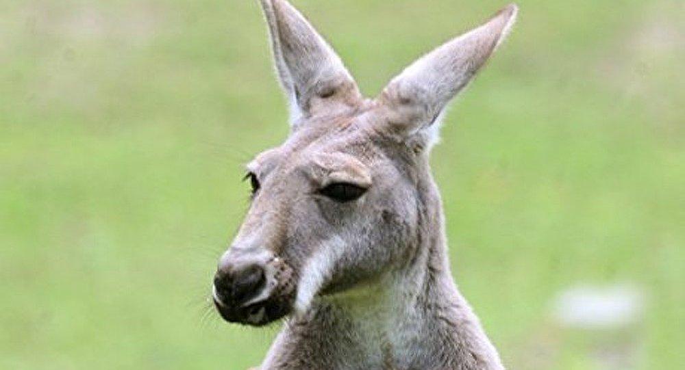 Australie : un kangourou a sauvé un garçon de 7 ans perdu