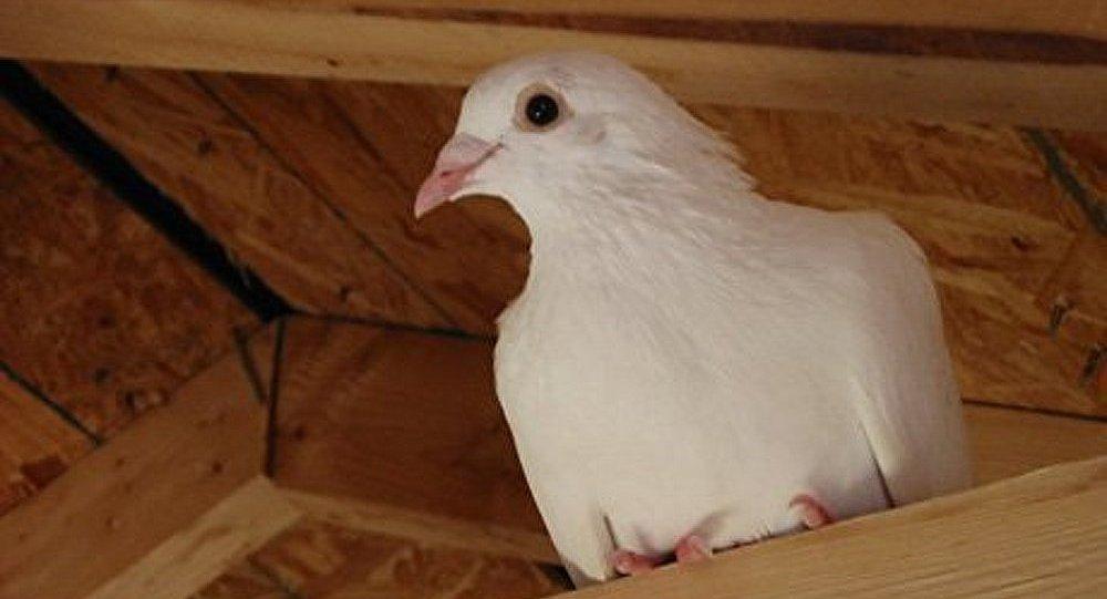 Des pigeons voyageurs pour le trafic de cannabis