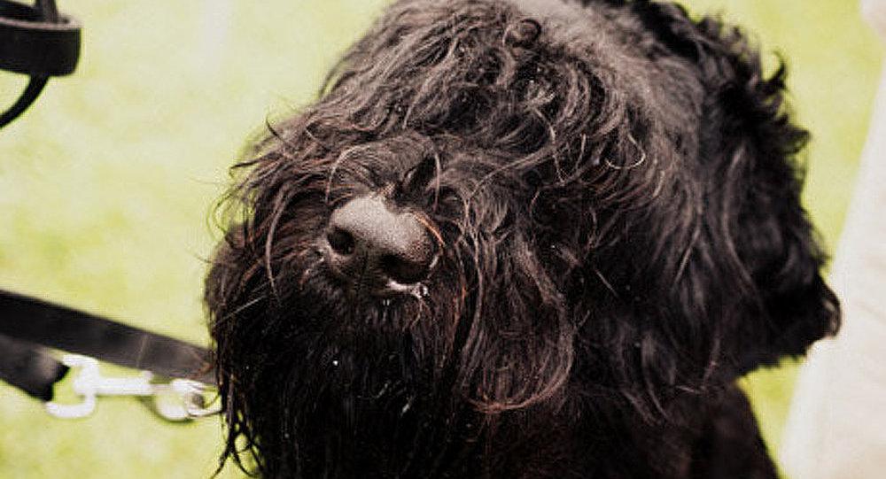 Brésil : fermeture d'un laboratoire qui utilisait des chiens comme cobayes