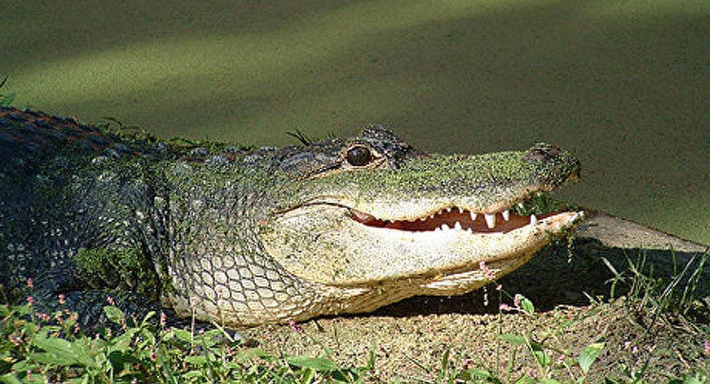 USA : un crocodile au lieu de dollars pour payer une bière