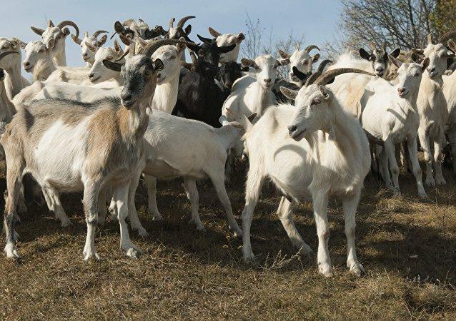 Un troupeau de chèvres