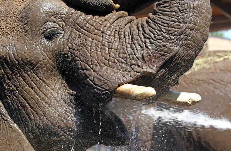 Un éléphant au zoo de Salt Lake City, où une chaleur de 35 degrés s'est installée pendant plusieurs jours.