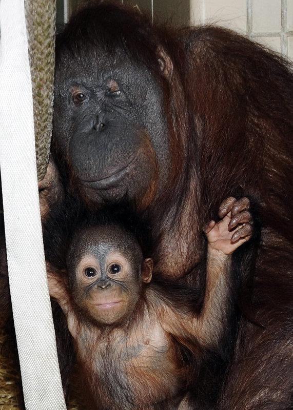 La société zoologique de Chicago a publié des photos du petit orang-outan de 6 mois Kecil et de sa mère de substitution Maggie.
