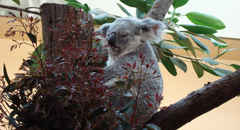 Un koala sauvé par du bouche-à-bouche