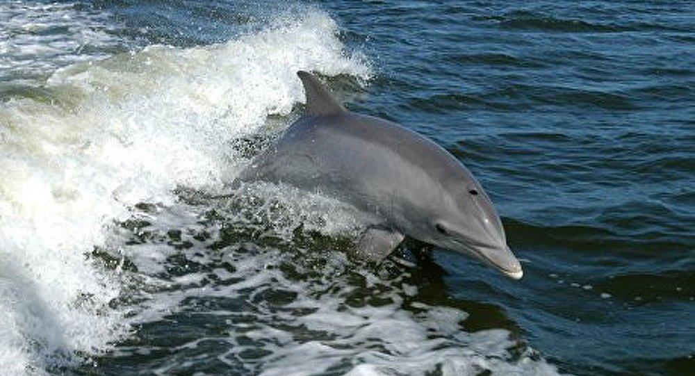 Iles Féroé : 14 militants arrêtés en tentant de protéger des dauphins-pilotes