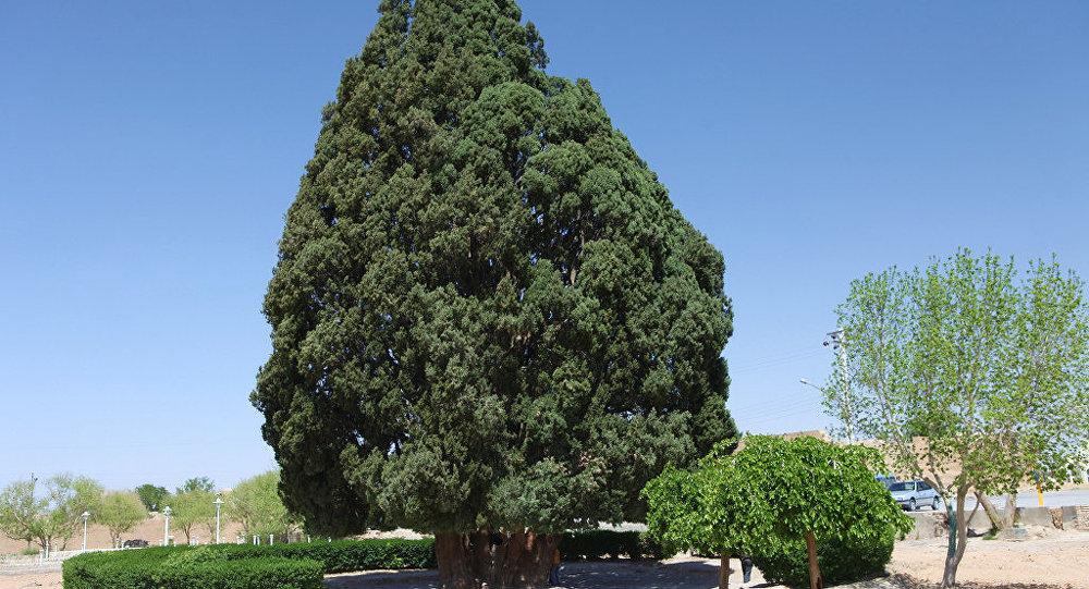 Le cyprès Sarv-e Abarkuh, Iran