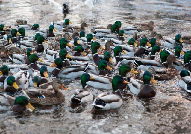 Les canards dans le lac Onega en Carélie