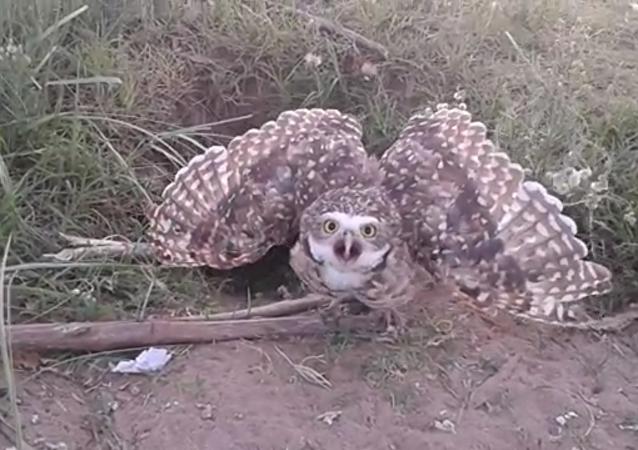 L'oiseau a utilisé son regard hypnotisant afin de protéger son nid.