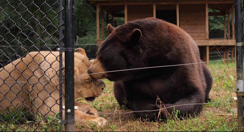 L'ours Baloo et le lion Leo