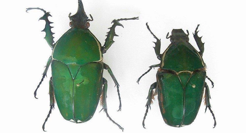 Mecynorrhina torquata